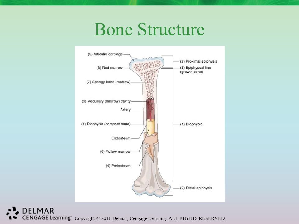 Copyright © 2011 Delmar, Cengage Learning. ALL RIGHTS RESERVED. Bone Structure
