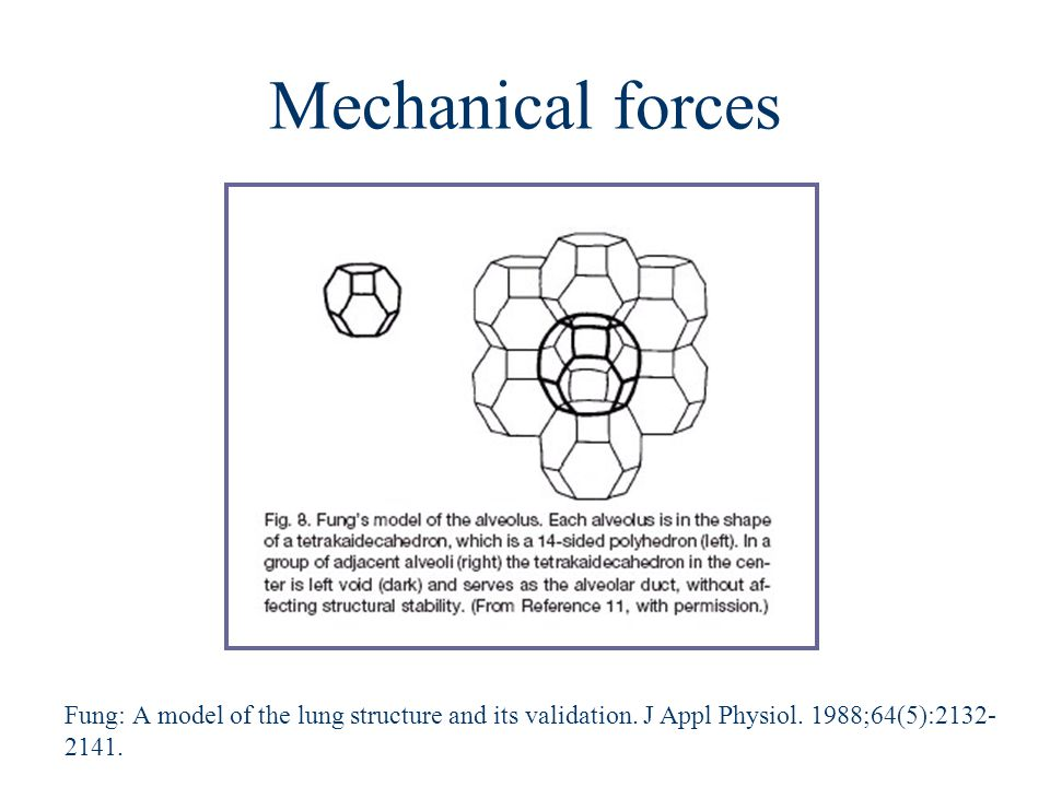 Mechanical forces Fung: A model of the lung structure and its validation. J Appl Physiol. 1988;64(5):2132- 2141.