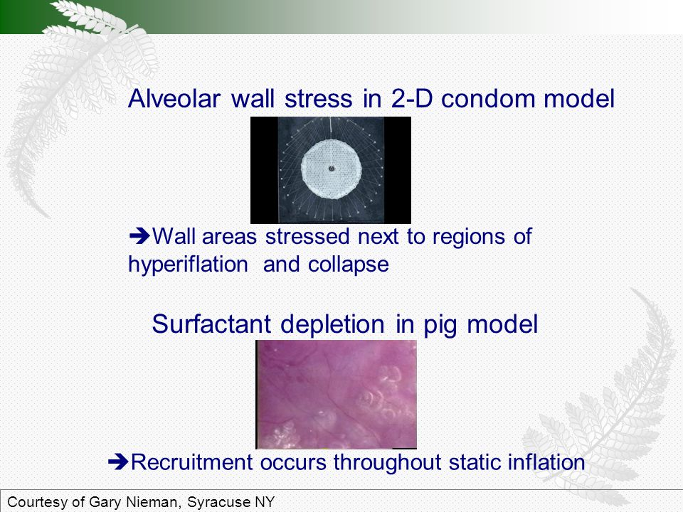 Surfactant depletion in pig model Courtesy of Gary Nieman, Syracuse NY  Recruitment occurs throughout static inflation Alveolar wall stress in 2-D condom model  Wall areas stressed next to regions of hyperiflation and collapse