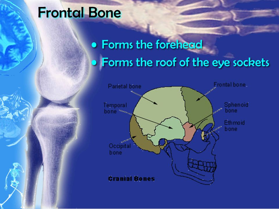 Frontal Bone Forms the forehead Forms the roof of the eye sockets Forms the forehead Forms the roof of the eye sockets
