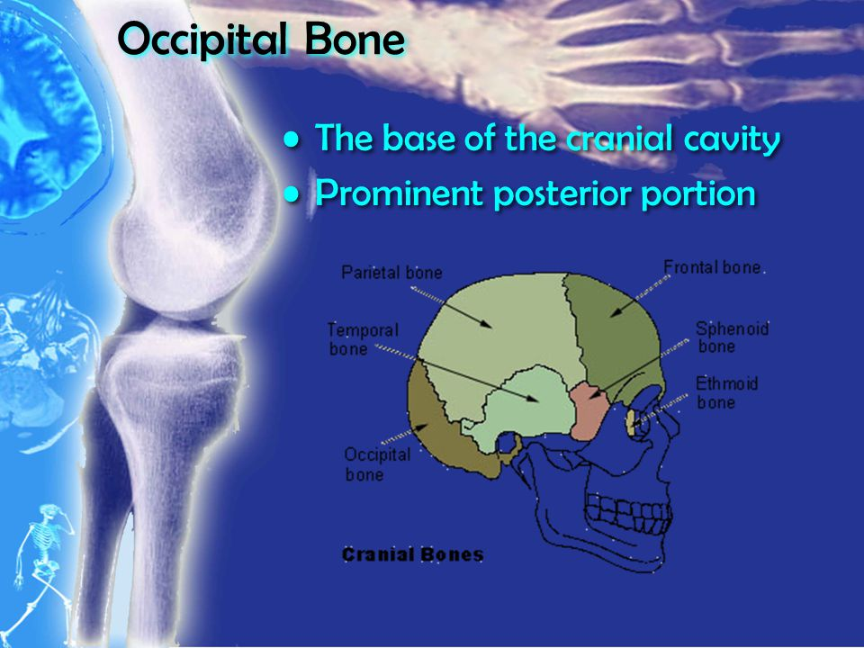 Occipital Bone The base of the cranial cavity Prominent posterior portion The base of the cranial cavity Prominent posterior portion