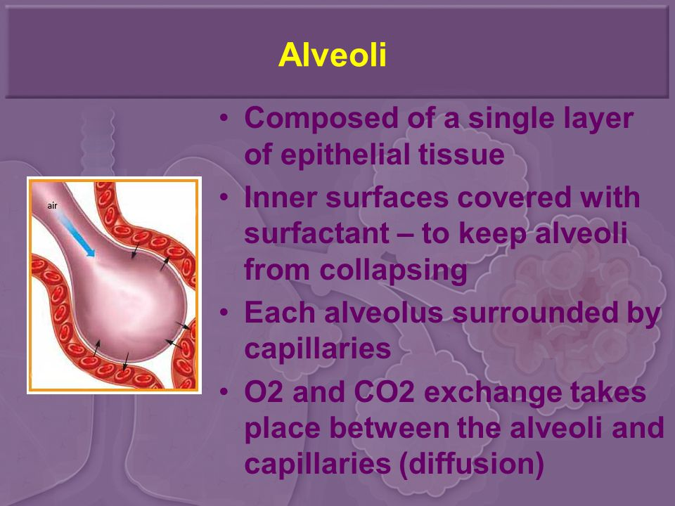 Alveoli Composed of a single layer of epithelial tissue Inner surfaces covered with surfactant – to keep alveoli from collapsing Each alveolus surroun