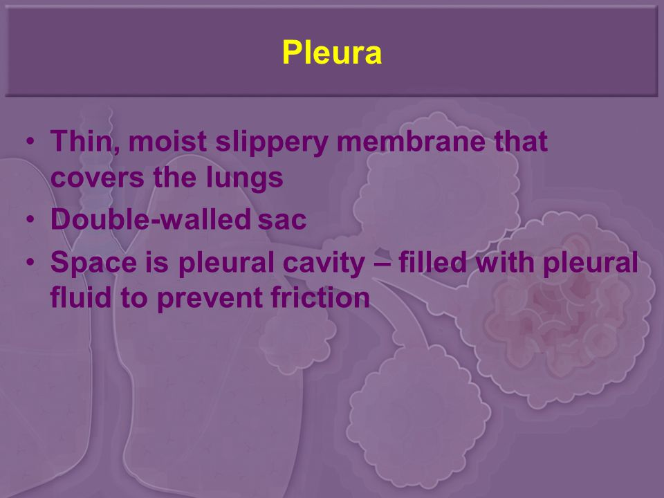 Pleura Thin, moist slippery membrane that covers the lungs Double-walled sac Space is pleural cavity – filled with pleural fluid to prevent friction