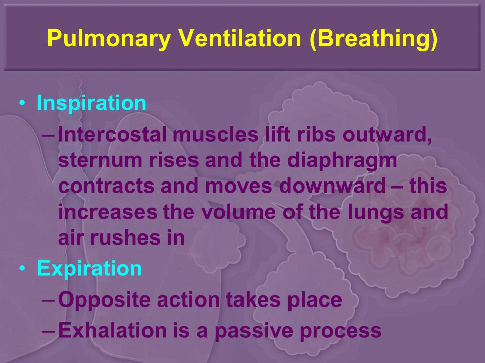 Pulmonary Ventilation (Breathing) Inspiration –Intercostal muscles lift ribs outward, sternum rises and the diaphragm contracts and moves downward – this increases the volume of the lungs and air rushes in Expiration –Opposite action takes place –Exhalation is a passive process