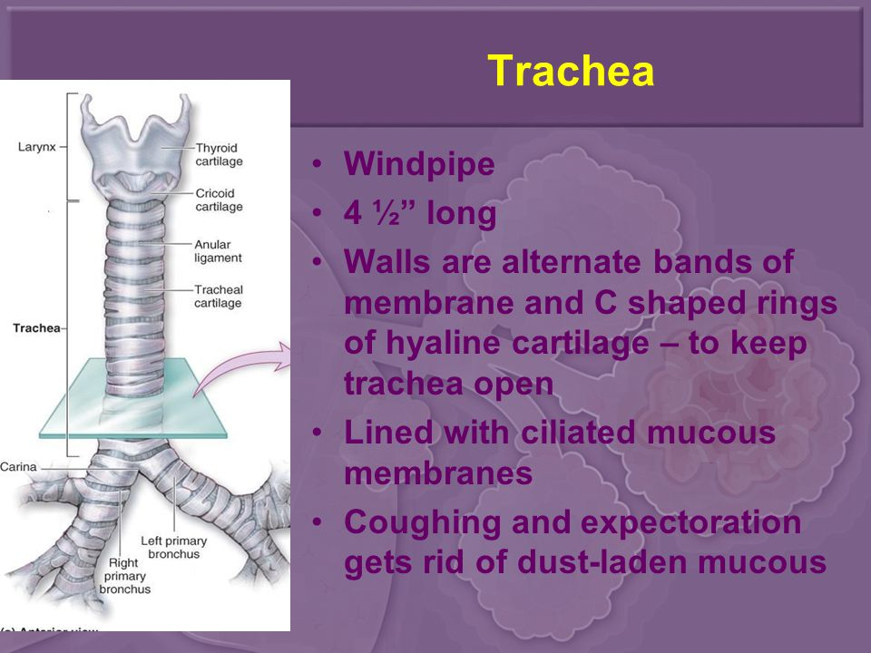 """Trachea Windpipe 4 ½"""" long Walls are alternate bands of membrane and C shaped rings of hyaline cartilage – to keep trachea open Lined with ciliated mu"""