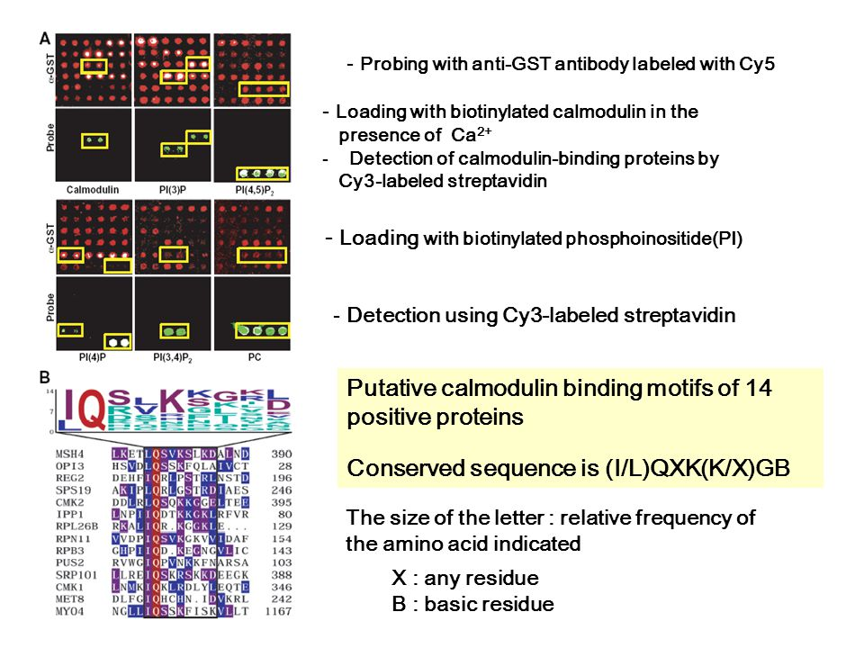 - Loading with biotinylated calmodulin in the presence of Ca 2+ -Detection of calmodulin-binding proteins by Cy3-labeled streptavidin Putative calmodulin binding motifs of 14 positive proteins Conserved sequence is (I/L)QXK(K/X)GB - Loading with biotinylated phosphoinositide(PI) - Probing with anti-GST antibody labeled with Cy5 X : any residue B : basic residue The size of the letter : relative frequency of the amino acid indicated - Detection using Cy3-labeled streptavidin