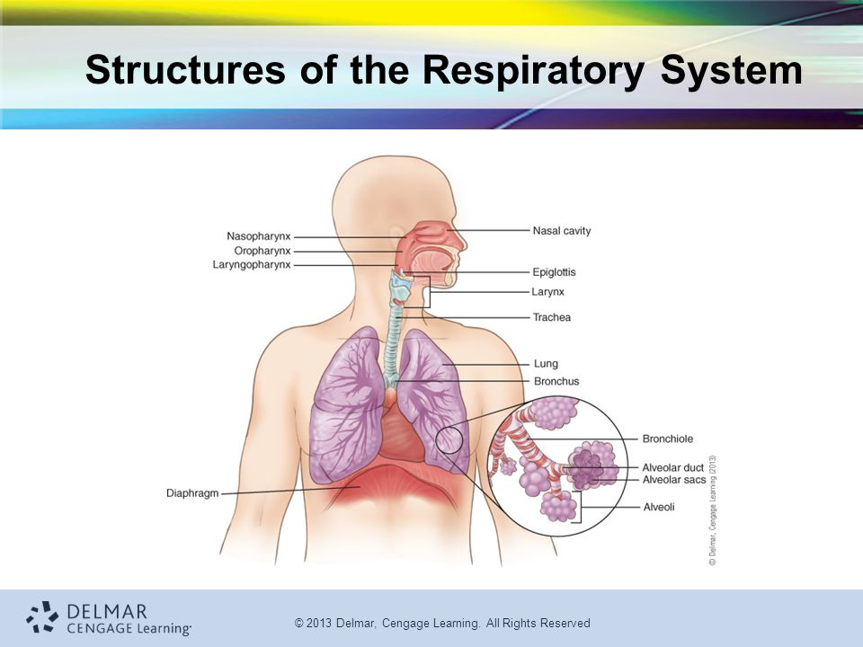 © 2013 Delmar, Cengage Learning. All Rights Reserved Structures of the Respiratory System