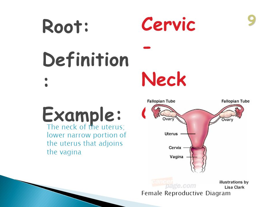 9 Root: Definition : Example: Cervic - Neck Cervix The neck of the uterus; lower narrow portion of the uterus that adjoins the vagina Female Reproductive Diagram