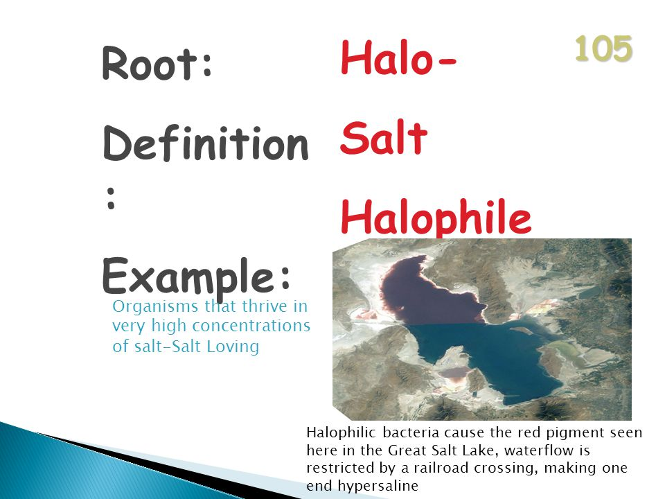 105 Root: Definition : Example: Halo- Salt Halophile Organisms that thrive in very high concentrations of salt-Salt Loving Halophilic bacteria cause the red pigment seen here in the Great Salt Lake, waterflow is restricted by a railroad crossing, making one end hypersaline