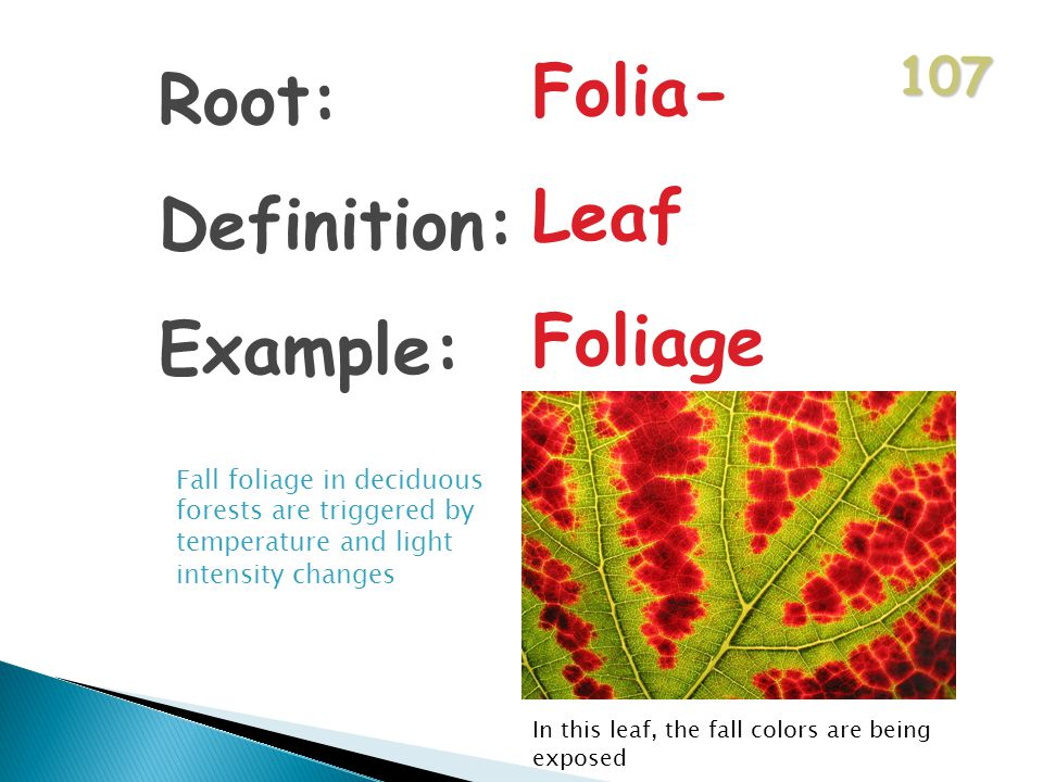 107 Root: Definition: Example: Folia- Leaf Foliage Fall foliage in deciduous forests are triggered by temperature and light intensity changes In this leaf, the fall colors are being exposed
