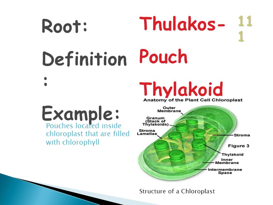 11 1 Root: Definition : Example: Thulakos- Pouch Thylakoid Pouches located inside chloroplast that are filled with chlorophyll Structure of a Chloroplast