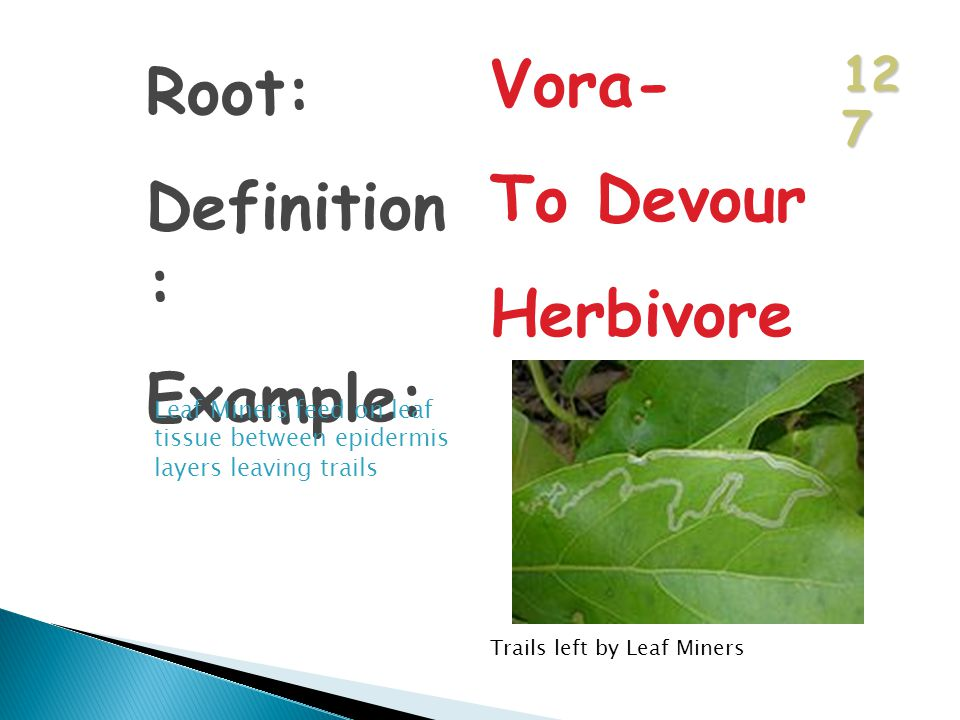 12 7 Root: Definition : Example: Vora- To Devour Herbivore Leaf Miners feed on leaf tissue between epidermis layers leaving trails Trails left by Leaf Miners