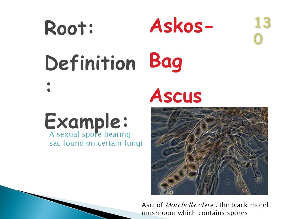 13 0 Root: Definition : Example: Askos- Bag Ascus A sexual spore bearing sac found on certain fungi Asci of Morchella elata, the black morel mushroom which contains spores