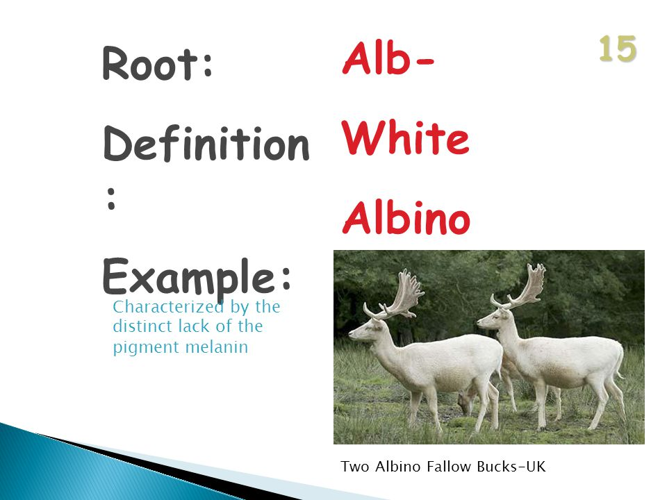 15 Root: Definition : Example: Alb- White Albino Characterized by the distinct lack of the pigment melanin Two Albino Fallow Bucks-UK