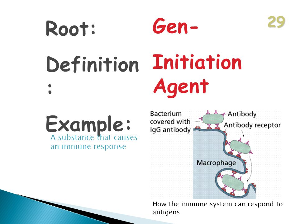 29 Root: Definition : Example: Gen- Initiation Agent Antigen A substance that causes an immune response How the immune system can respond to antigens