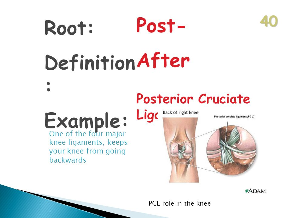40 Root: Definition : Example: Post- After Posterior Cruciate Ligament One of the four major knee ligaments, keeps your knee from going backwards PCL role in the knee
