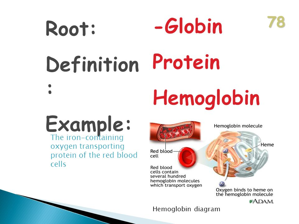78 Root: Definition : Example: -Globin Protein Hemoglobin The iron-containing oxygen transporting protein of the red blood cells Hemoglobin diagram