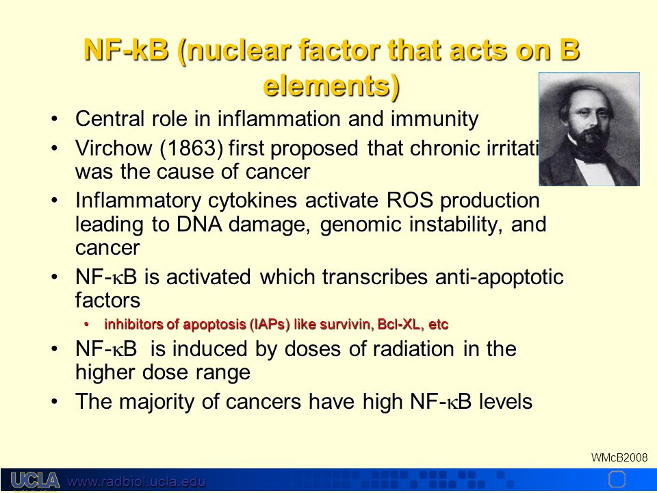 www.radbiol.ucla.edu WMcB2008 NF-kB (nuclear factor that acts on B elements) Central role in inflammation and immunityCentral role in inflammation and immunity Virchow (1863) first proposed that chronic irritation was the cause of cancerVirchow (1863) first proposed that chronic irritation was the cause of cancer Inflammatory cytokines activate ROS production leading to DNA damage, genomic instability, and cancerInflammatory cytokines activate ROS production leading to DNA damage, genomic instability, and cancer NF-  B is activated which transcribes anti-apoptotic factorsNF-  B is activated which transcribes anti-apoptotic factors inhibitors of apoptosis (IAPs) like survivin, Bcl-XL, etcinhibitors of apoptosis (IAPs) like survivin, Bcl-XL, etc NF-  B is induced by doses of radiation in the higher dose rangeNF-  B is induced by doses of radiation in the higher dose range The majority of cancers have high NF-  B levelsThe majority of cancers have high NF-  B levels