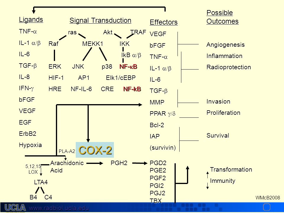 www.radbiol.ucla.edu WMcB2008 Ligands TNF-  IL-1  IL-6 TGF-  IL-8 IFN-  bFGFVEGFEGFErbB2Hypoxia Signal Transduction ras Akt TRAF ras Akt TRAF Raf MEKK1 IKK IkB  IkB  ERK JNK p38 NF-  B HIF-1 AP1 Elk1/cEBP HRE NF-IL-6 CRE NF-kB EffectorsVEGFbFGF TNF-  IL-1  IL-6 TGF-  MMP PPAR  Bcl-2IAP(survivin) Possible Outcomes AngiogenesisInflammationRadioprotectionInvasionProliferationSurvival Transformation Transformation Immunity Immunity Arachidonic PGH2PGD2 AcidPGE2 PGF2PGI2PGJ2TBX LTA4 B4 C4 COX-2 PLA-A2 5,12,15LOX