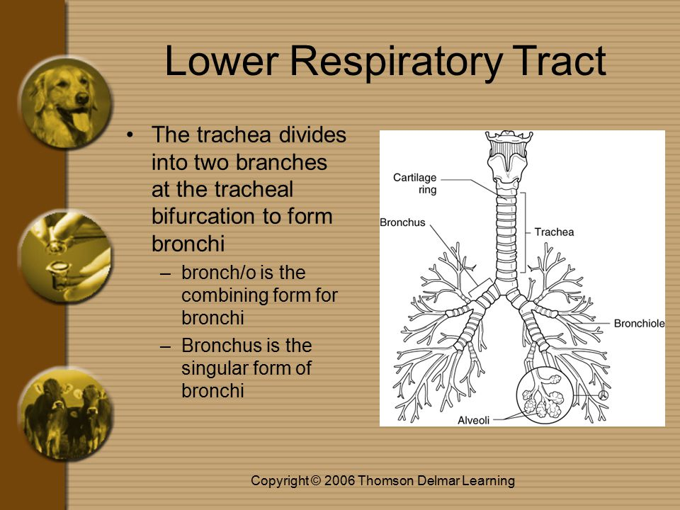Copyright © 2006 Thomson Delmar Learning Lower Respiratory Tract The trachea extends from the neck to the chest and passes air from the larynx to the thoracic cavity –trache/o is the combining form for the trachea –Commonly called the windpipe contains C-shaped cartilaginous rings
