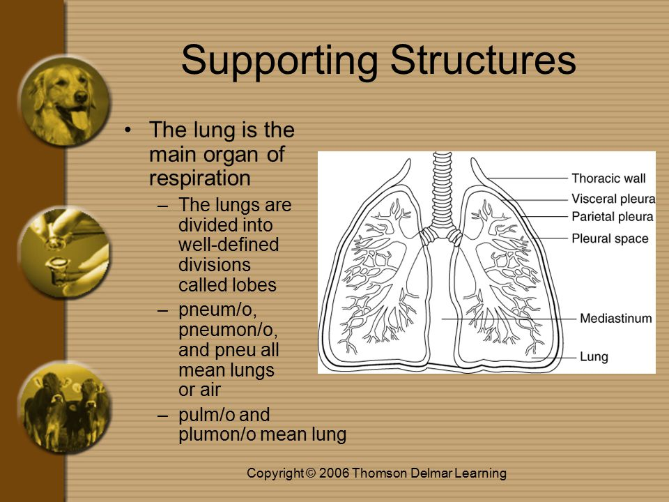 Copyright © 2006 Thomson Delmar Learning Supporting Structures The thoracic cavity is contained within the ribs –cost/o is the combining form for ribs –thorac/o and -thorax both mean chest cavity or chest