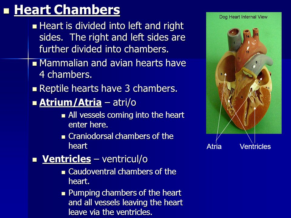 Heart – cardi/o Heart – cardi/o Provides the power to move blood through the body. Provides the power to move blood through the body. Located inside t