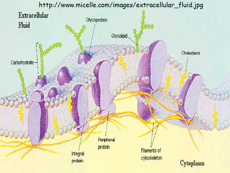 http://www.micelle.com/images/extracellular_fluid.jpg