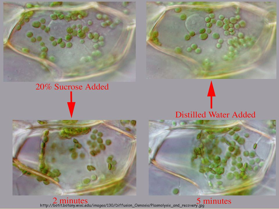 http://botit.botany.wisc.edu/images/130/Diffusion_Osmosis/Plasmolysis_and_recovery.jpg