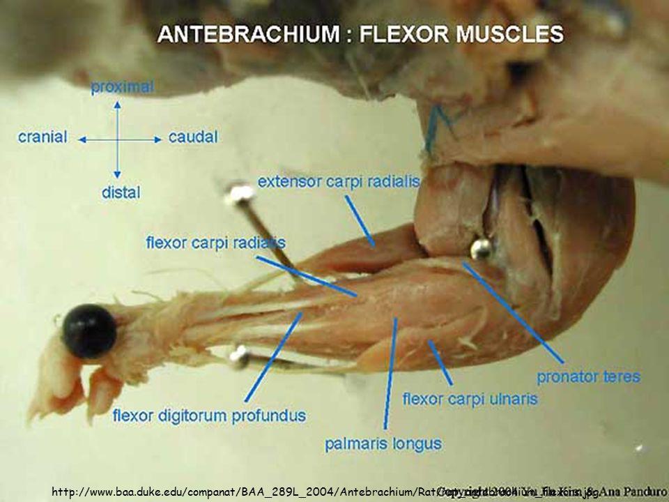http://www.baa.duke.edu/companat/BAA_289L_2004/Antebrachium/Rat/rat_antebrachium_flexors.jpg