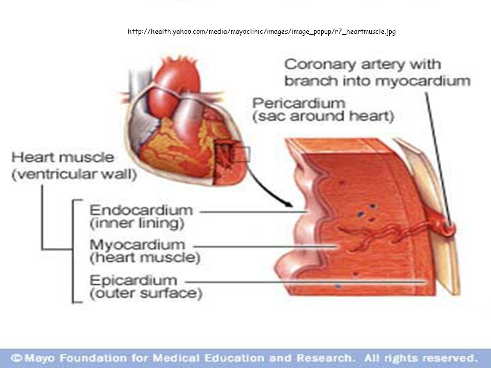 http://health.yahoo.com/media/mayoclinic/images/image_popup/r7_heartmuscle.jpg