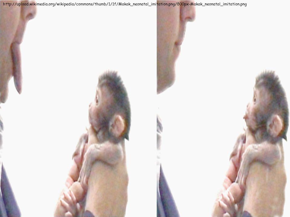http://upload.wikimedia.org/wikipedia/commons/thumb/1/1f/Makak_neonatal_imitation.png/800px-Makak_neonatal_imitation.png