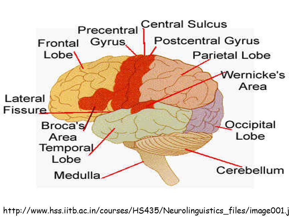 http://www.hss.iitb.ac.in/courses/HS435/Neurolinguistics_files/image001.jpg