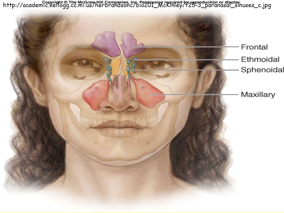 http://academic.kellogg.cc.mi.us/herbrandsonc/bio201_McKinley/f25-3_paranasal_sinuses_c.jpg
