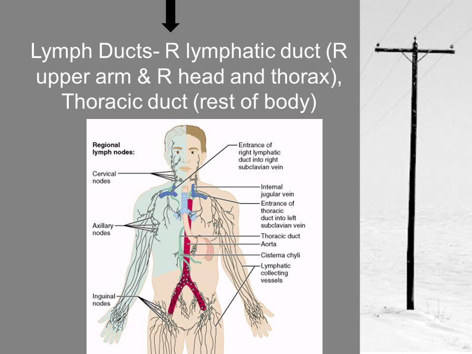 Lymph trunks- drain fairly large area of body; include lumbar, bronchomediastinal, subclavian, jugular, intestinal