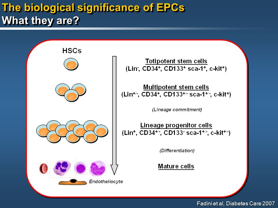 The biological significance of EPCs What they are.