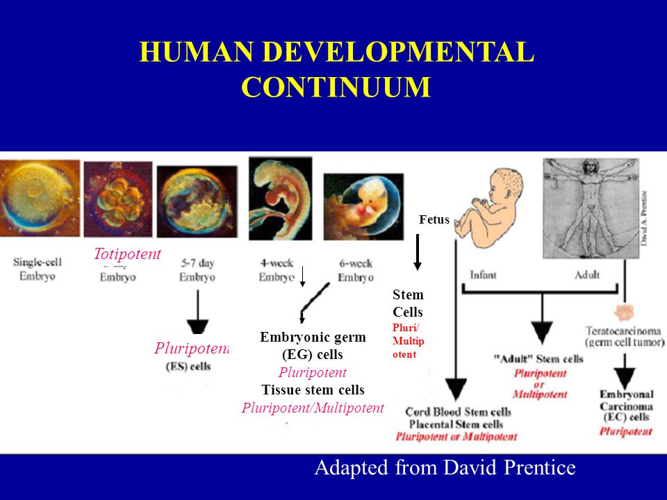 Adapted from David Prentice Pluripotent Totipotent Embryonic germ (EG) cells Pluripotent Tissue stem cells Pluripotent/Multipotent Stem Cells Pluri/ Multip otent HUMAN DEVELOPMENTAL CONTINUUM Fetus