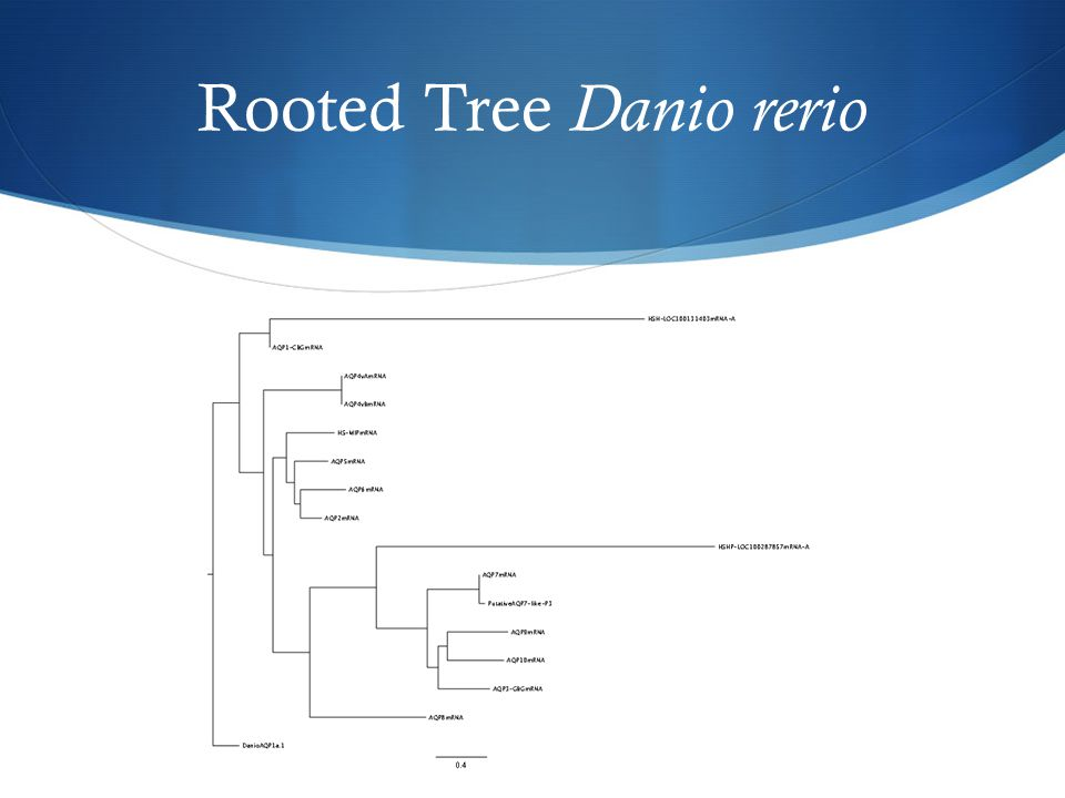 Rooted Tree Danio rerio