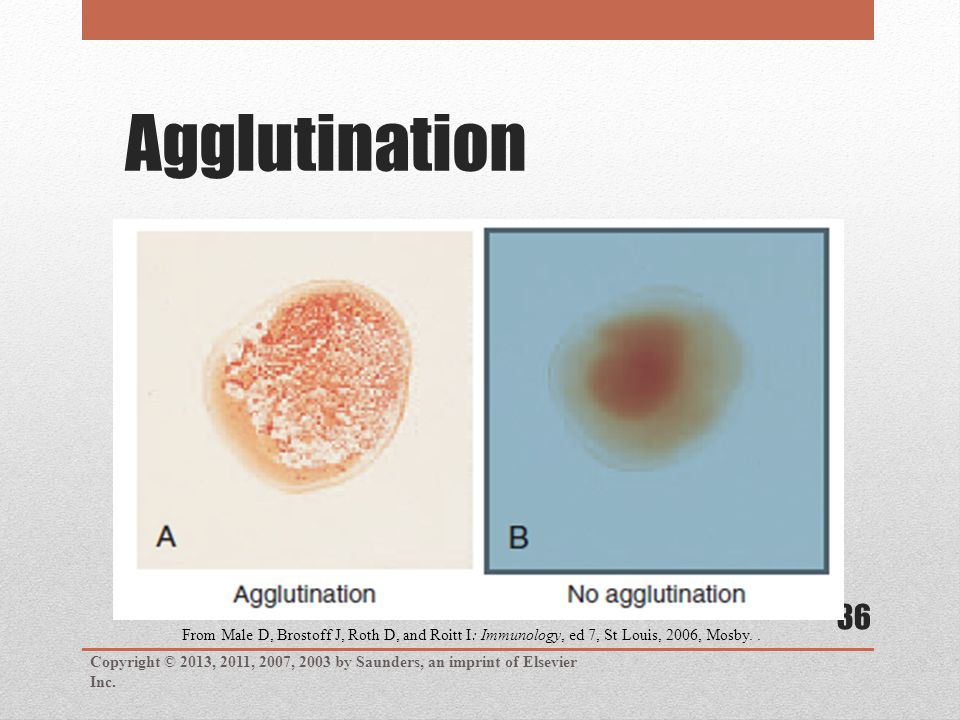 Agglutination Copyright © 2013, 2011, 2007, 2003 by Saunders, an imprint of Elsevier Inc. 36 From Male D, Brostoff J, Roth D, and Roitt I: Immunology,