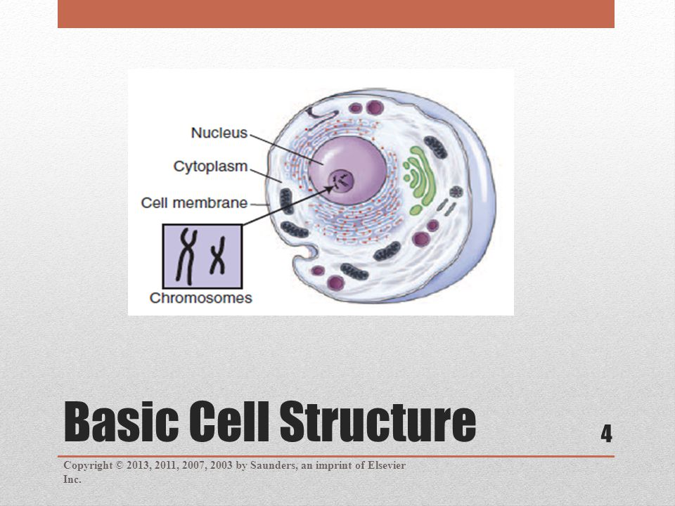 Basic Cell Structure Copyright © 2013, 2011, 2007, 2003 by Saunders, an imprint of Elsevier Inc. 4