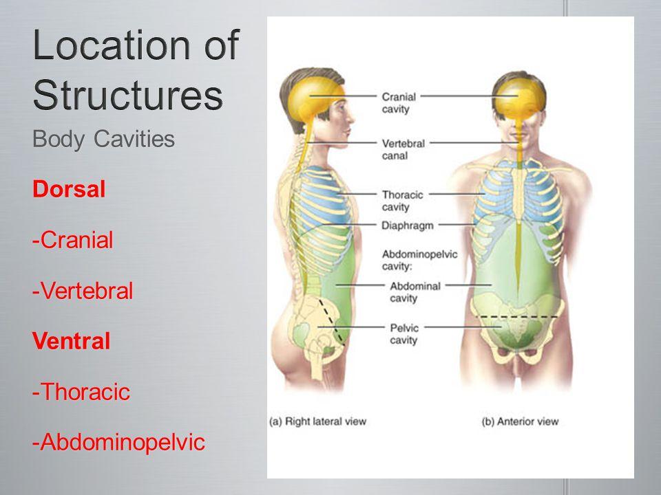 Body Cavities Dorsal-Cranial-VertebralVentral-Thoracic-Abdominopelvic