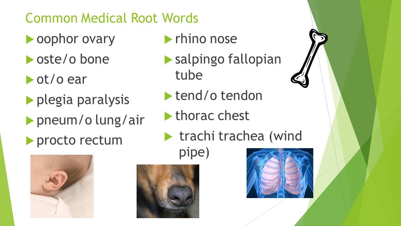 Common Medical Root Words  oophor ovary  oste/o bone  ot/o ear  plegia paralysis  pneum/o lung/air  procto rectum  rhino nose  salpingo fallop