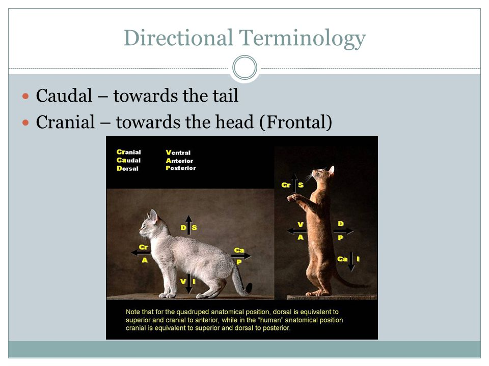 Directional Terminology Caudal – towards the tail Cranial – towards the head (Frontal)