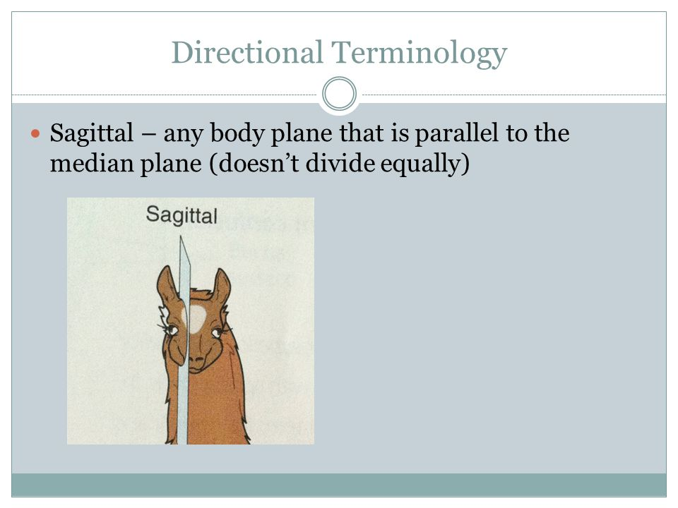 Directional Terminology Sagittal – any body plane that is parallel to the median plane (doesn't divide equally)
