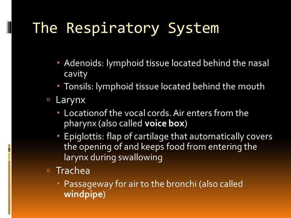 The Respiratory System  Bronchus (pl.