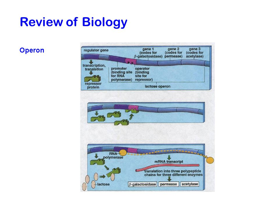 Review of Biology Operon