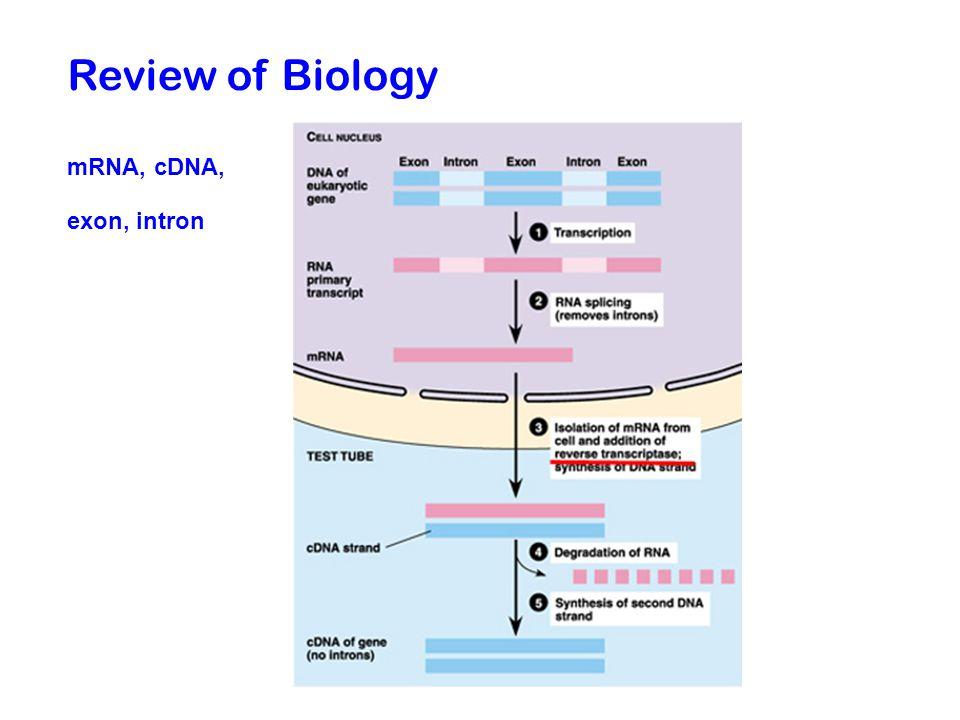 Review of Biology mRNA, cDNA, exon, intron