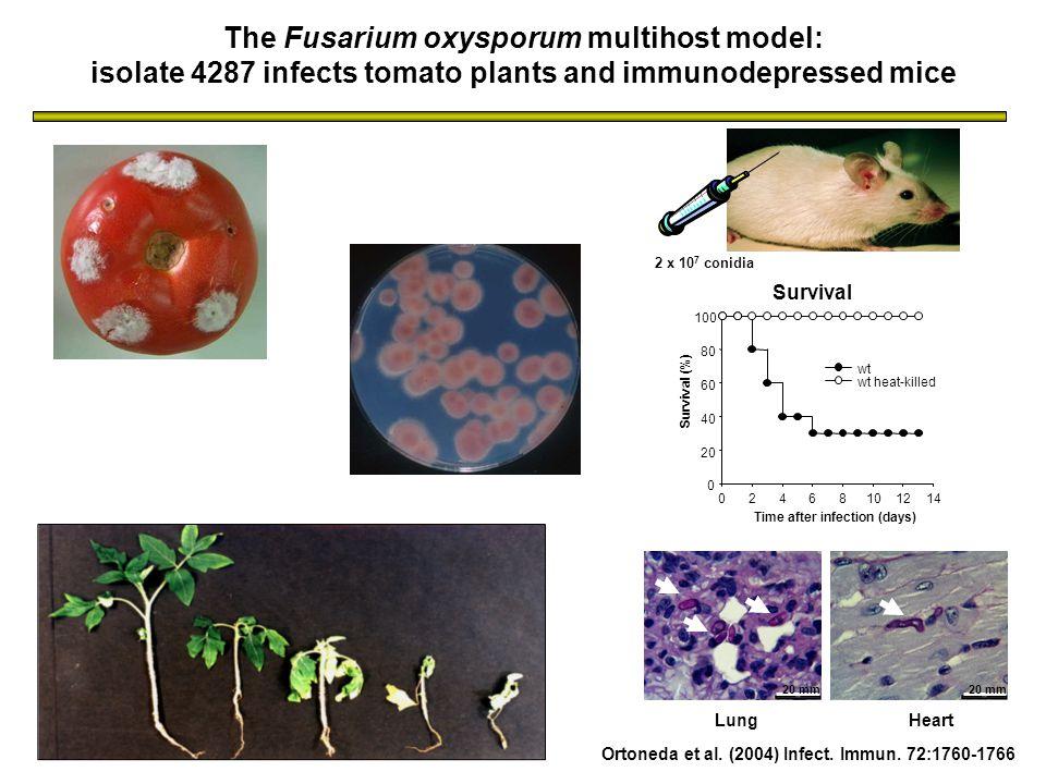 Ortoneda et al. (2004) Infect. Immun. 72:1760-1766 2 x 10 7 conidia The Fusarium oxysporum multihost model: isolate 4287 infects tomato plants and imm