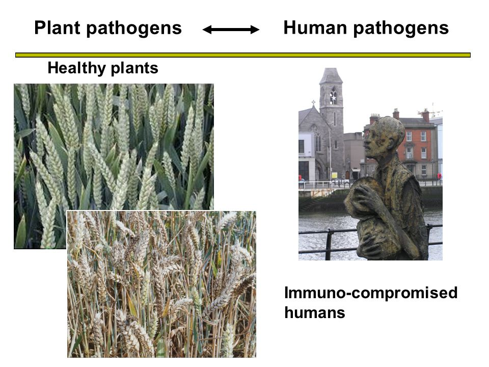 Immuno-compromised humans Plant pathogens Human pathogens To finish Healthy plants