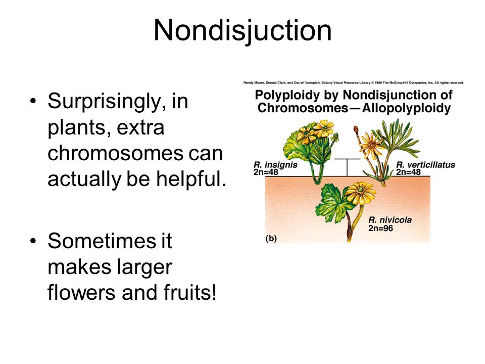 Nondisjuction Surprisingly, in plants, extra chromosomes can actually be helpful. Sometimes it makes larger flowers and fruits!