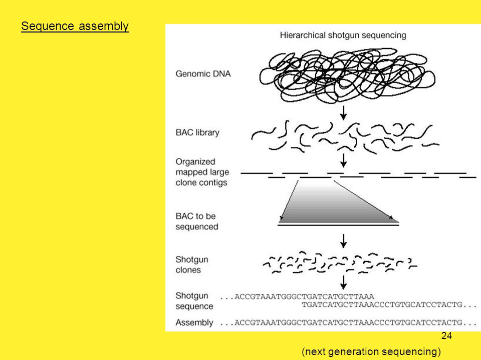 Sequence assembly (next generation sequencing) 24